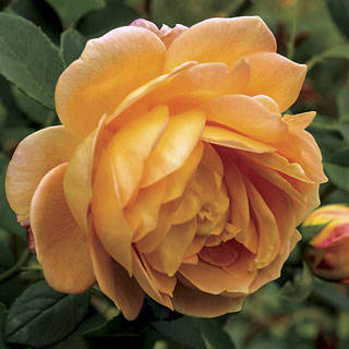 Honey Perfume Floribunda Rose Image