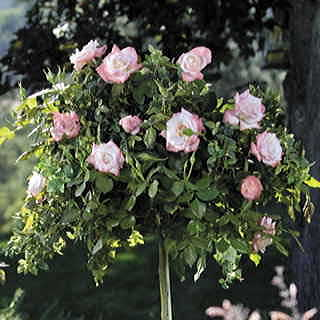 Crescendo® 36-Inch Tree Rose Image