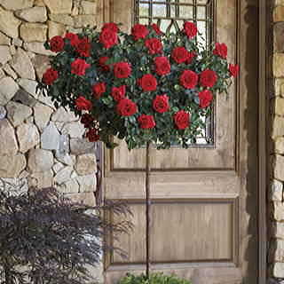 Always and Forever™ 36-inch Standard Tree Rose