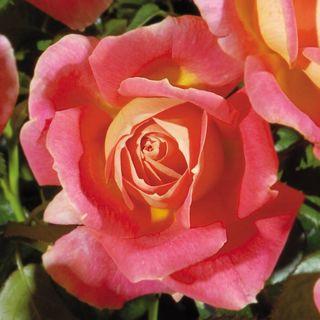 Shazam! Floribunda Rose Image