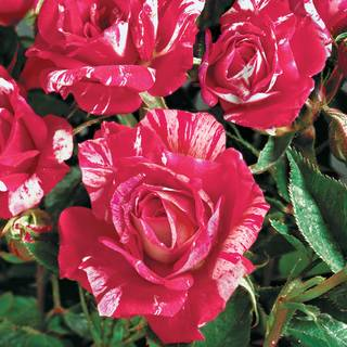Hypnotized! Hybrid Tea Rose Image