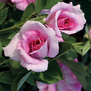 'Jane Seymour' Floribunda Rose