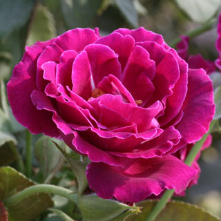 'Heroes Rose' Floribunda Rose