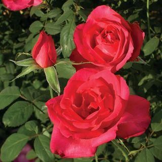 Astounding Glory Hybrid Tea Rose