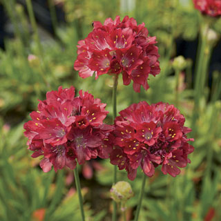Ballerina Red Thrift Image