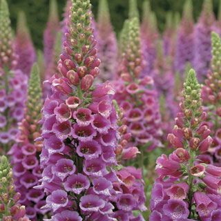 Candy Mountain Foxglove Image