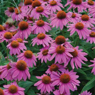 Echinacea PowWow® Wild Berry Image