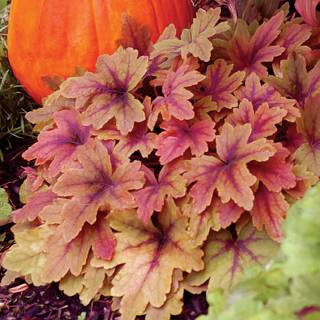 Heucherella 'Sweet Tea' Image