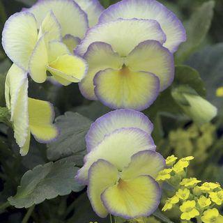 'Etain' Violet
