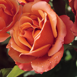 Tuscan Sun Floribunda Rose
