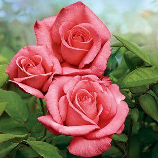 Aromatherapy Hybrid Tea Rose Image