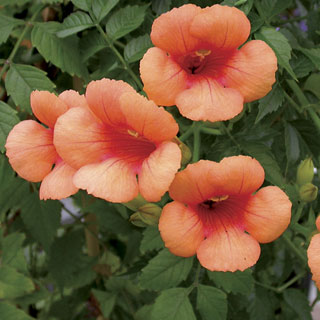 Campsis Indian Summer