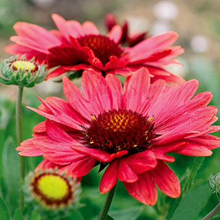 Gaillardia 'Aizona Red Shades'