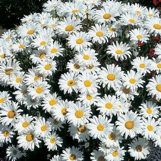 Leucanthemum 'Snow Cap' Image