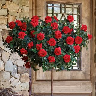 Always and Forever® 24-inch Patio Tree Rose