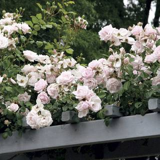 New Dawn Climbing Rose For Sale At Jp
