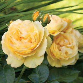 'Julia Child' Floribunda Rose Image