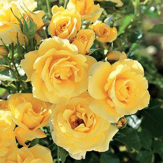 Sun Flare Floribunda Rose Image