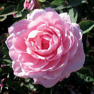 'Belinda's Dream' Shrub Rose