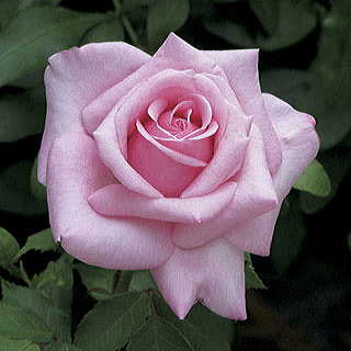 Belinda's Dream Shrub Rose