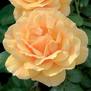 Easy Going™ Floribunda Rose Image