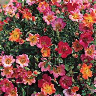 Happy Chappy Groundcover Rose Image