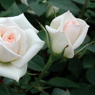 Innocence Miniature Rose