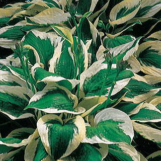 Patriot Hosta Image