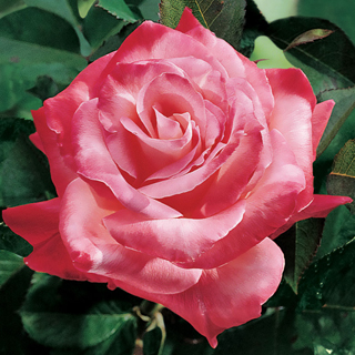 'Brigadoon' Hybrid Tea Rose