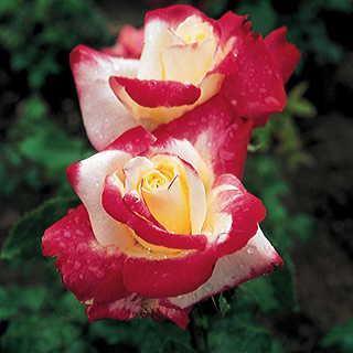 Double Delight 36-Inch Tree Rose Image