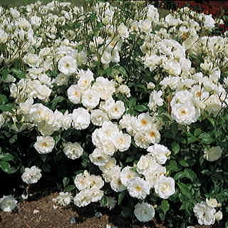 Iceberg 36-inch Patio Tree Rose