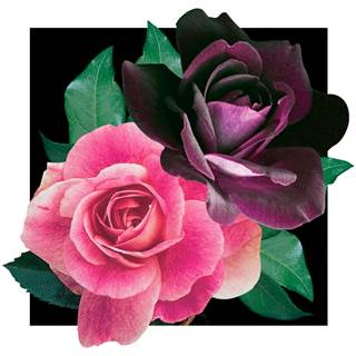 Brilliant Pink Iceberg & Burgundy Iceberg 36-Inch Tree Rose Image