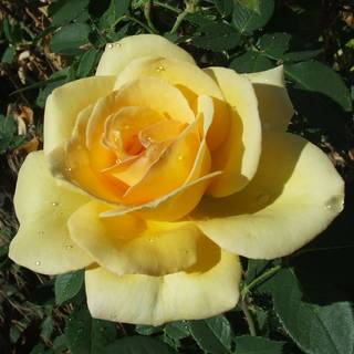 'Welcome Home' Hybrid Tea Rose