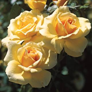 Welcome Home Hybrid Tea Rose Image