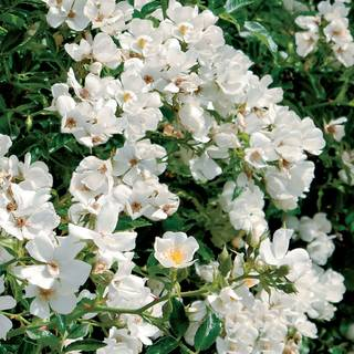 Snowcone™ Shrub Rose