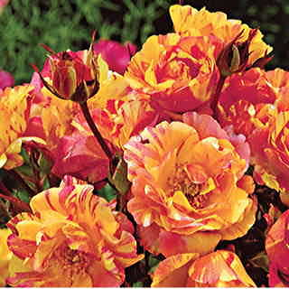 Citrus Splash Shrub Rose
