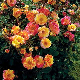 Citrus Splash Shrub Rose Image