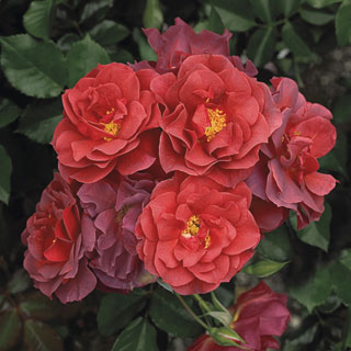Cinco de Mayo™ Floribunda Rose