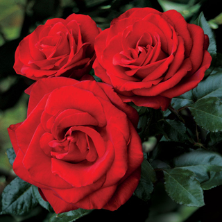 Always and Forever® Hybrid Tea Rose Image