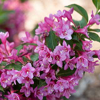 Weigela Sonic Bloom® Pink Image