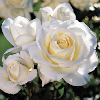 'Moondance' 24-inch Patio Rose