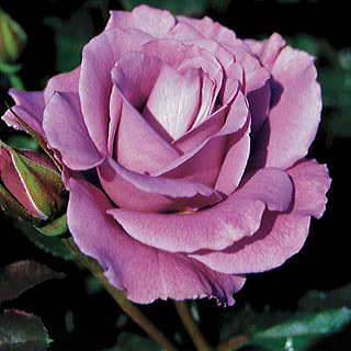 'Angel Face' 24-inch Patio Rose
