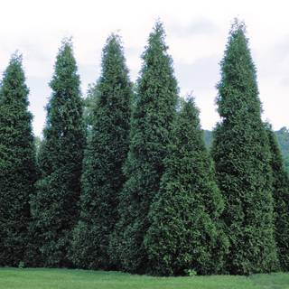 'Green Giant' Arborvitae