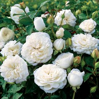 Pure Perfume Shrub Rose Image