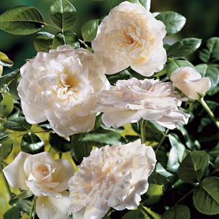 Pure Perfume Shrub Rose