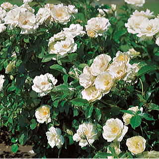 White Simplicity Hedge Rose