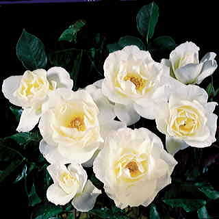 White Simplicity Hedge Rose Image