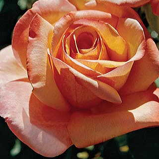 Tahitian Sunset Hybrid Tea Rose Image