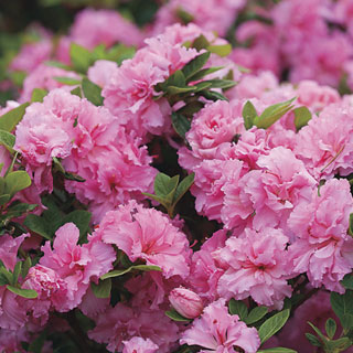Azalea Bloom-a-Thon® Pink Double