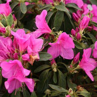 Azalea Bloom-a-Thon® Lavender Image
